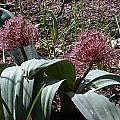 Allium nevskianum, John Lonsdale