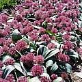 Allium nevskianum, Wietse Mellema