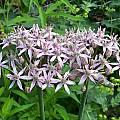Allium nigrum, Mark McDonough [Shift+click to enlarge, Click to go to wiki entry]