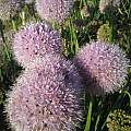 Allium nutans 'Caroline', Wietse Mellema [Shift+click to enlarge, Click to go to wiki entry]