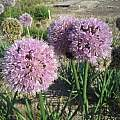 Allium nutans 'Esmee', Wietse Mellema [Shift+click to enlarge, Click to go to wiki entry]