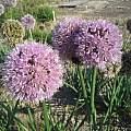 Allium nutans 'Esmee', Wietse Mellema