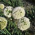 Allium nutans 'Isabelle', Wietse Mellema