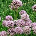 Allium nutans, Mark McDonough