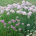 Allium nutans hybrid, Mark McDonough