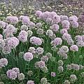Allium nutans hybrid, Mark McDonough
