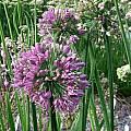 Allium nutans x stellatum, Mark McDonough