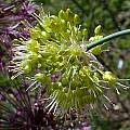 Allium obliquum, John Lonsdale [Shift+click to enlarge, Click to go to wiki entry]