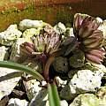 Allium obtusum, Nhu Nguyen