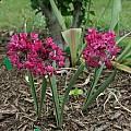 Allium oreophilum 'Torch', Mark McDonough