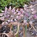 Allium oreophilum capsules, June 3 2015, Travis Owen