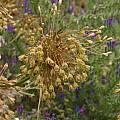 Allium paniculatum, Nhu Nguyen