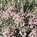 Allium paniculatum, Mark McDonough
