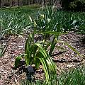 Allium paradoxum ssp. normale, Mark McDonough