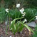 Allium paradoxum ssp. normale, Mark McDonough [Shift+click to enlarge, Click to go to wiki entry]
