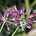 Allium peninsulare, Mary Sue Ittner