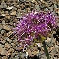 Allium platycaule, Nhu Nguyen