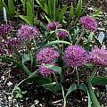Allium platycaule, Mark McDonough