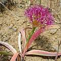 Allium platycaule, Plumas County, Mary Sue Ittner