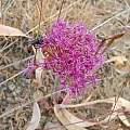 Allium platycaule, Plumas County, Mary Sue Ittner