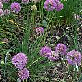 Allium przewalskianum, Mark McDonough [Shift+click to enlarge, Click to go to wiki entry]