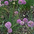 Allium przewalskianum, Mark McDonough