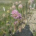 Allium psebaicum, Wietse Mellema [Shift+click to enlarge, Click to go to wiki entry]