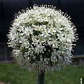 Allium pskemense, John Lonsdale [Shift+click to enlarge, Click to go to wiki entry]