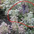 Allium carinatum ssp. pulchellum, species circled in red, Mark McDonough