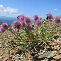Allium pumilum, Altai Mountains, Mongolia, Andrey Dedov [Shift+click to enlarge, Click to go to wiki entry]