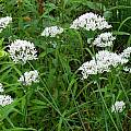 Allium ramosum, Mark McDonough [Shift+click to enlarge, Click to go to wiki entry]