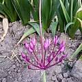 Allium regelii, Wietse Mellema [Shift+click to enlarge, Click to go to wiki entry]