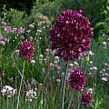 Allium rotundum, Mark McDonough [Shift+click to enlarge, Click to go to wiki entry]