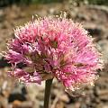 Allium sanbornii, Tilden Botanic Garden, Nhu Nguyen
