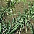 Allium sativum, Janos Agoston