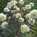 Allium saxatile, Wietse Mellema [Shift+click to enlarge, Click to go to wiki entry]
