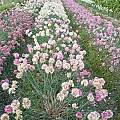 Allium saxatile, Wietse Mellema