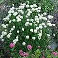Allium schoenoprasum 'Snowcap', Mark McDonough