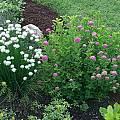 Allium schoenoprasum 'Snowcap', Mark McDonough
