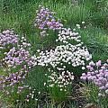 Allium schoenoprasum, 'mixed semi-dwarf forms', Mark McDonough