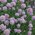 Allium schoenoprasum 'Curly Mauve', Mark McDonough