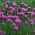 Allium schoenoprasum 'Marsha', Mark McDonough