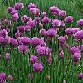 Allium schoenoprasum 'Marsha', Mark McDonough