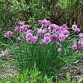 Allium schoenoprasum, 'floppy-headed semi-dwarf', Mark McDonough