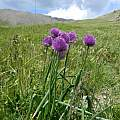 Allium schoenoprasum, Andrey Dedov [Shift+click to enlarge, Click to go to wiki entry]