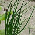 Allium schoenoprasum, David Pilling