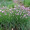 Allium schoenoprasum 'Curly Mauve', Mark McDonough