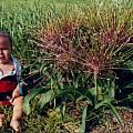 Allium schubertii, Kelly Irvin