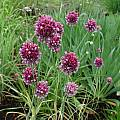Allium scorodoprasum ssp. jajlae, Mark McDonough [Shift+click to enlarge, Click to go to wiki entry]