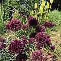Allium scorodoprasum ssp. rotundum, Rimmer de Vries